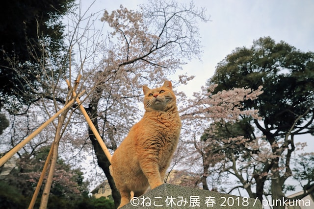 桜の木をバックにした茶トラ猫 by punkuma