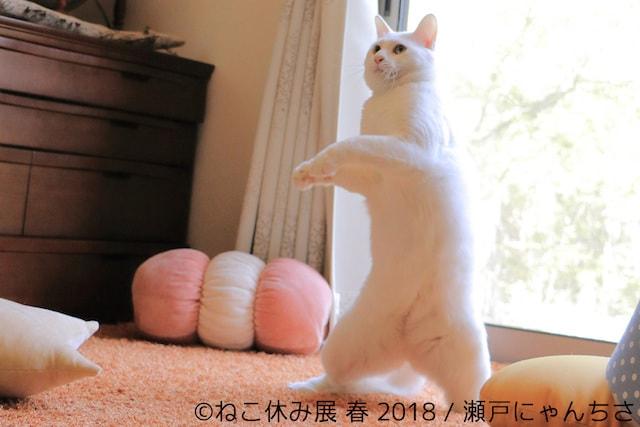 仁王立ちする白猫 by 瀬戸内にゃんちさ