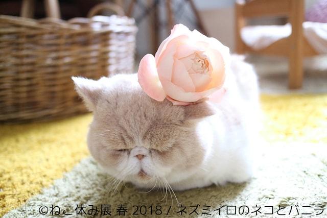花飾りを付ける猫 by ネズミイロのネコとバニラ