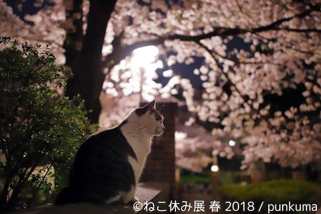 夜桜と猫 by punkuma