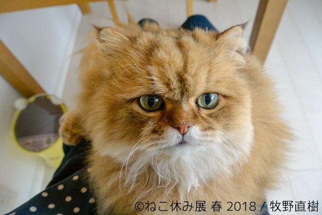しょんぼり顔の猫・ふーちゃん