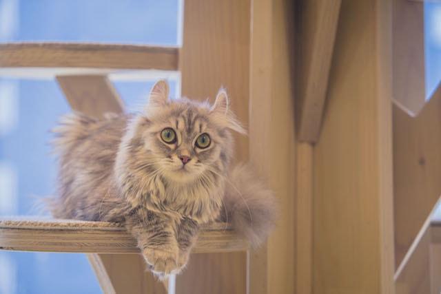 猫カフェMoCHA(モカ)のキャットタワーでくつろぐ猫