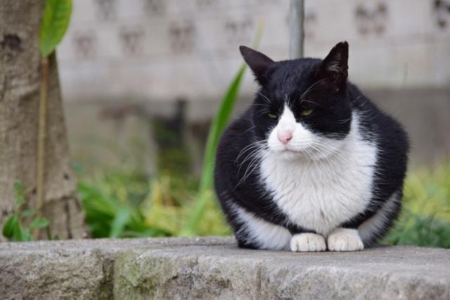 黒白のハチワレ猫のイメージ写真
