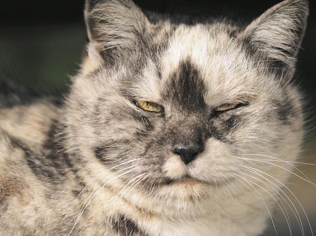 眼光鋭いおやぶん猫