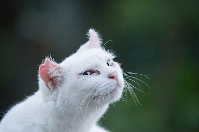 カメラ目線の白猫の写真 by 久野大介