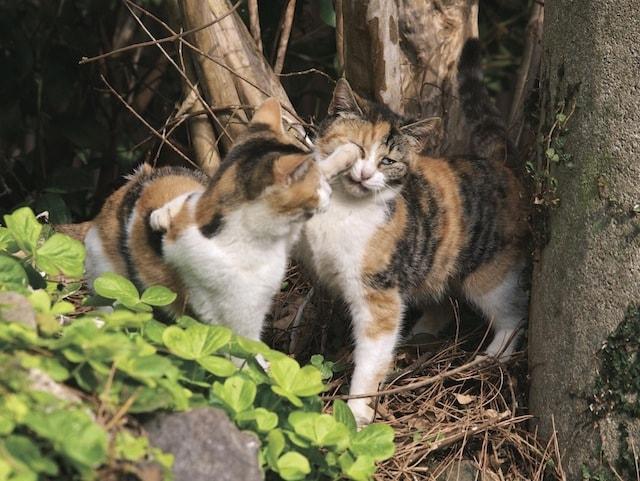 猫パンチを浴びるおやぶん猫