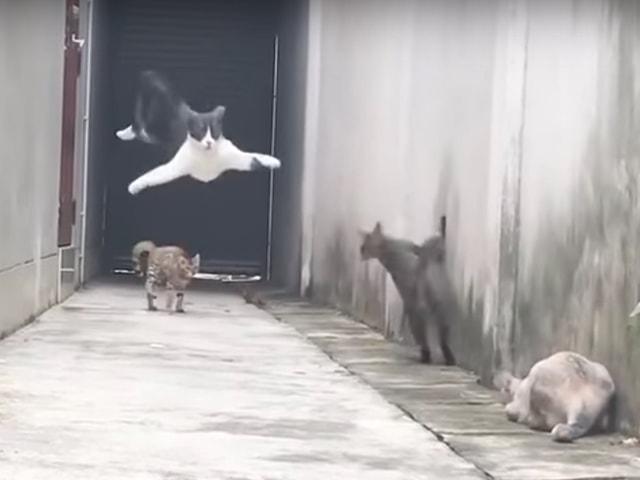 何という身のこなし!3匹の猫に追い詰められた猫が華麗に脱出する猫動画