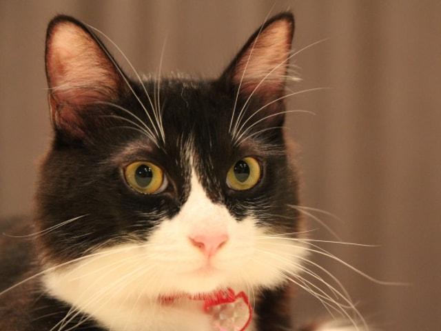 ハチワレ猫が好きな人にはたまらない「大ハチワレ展」が8月に開催されるニャ