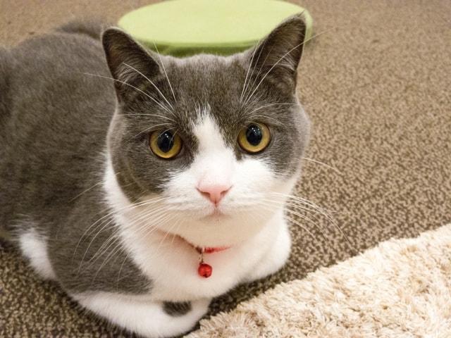 グレー白のハチワレ猫のイメージ写真