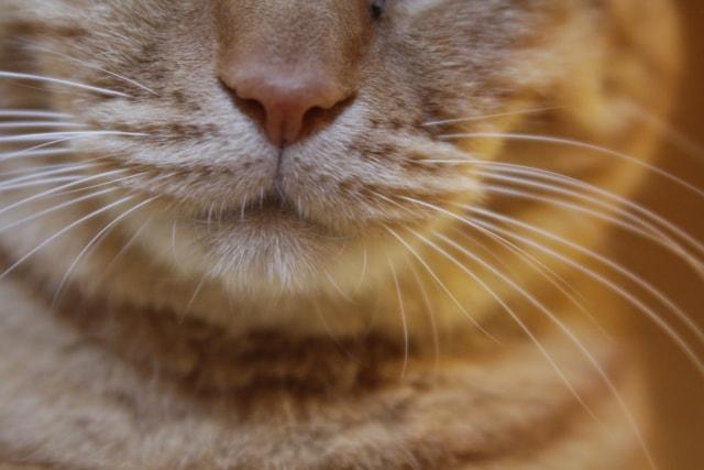 猫の鼻・嗅覚イメージ写真