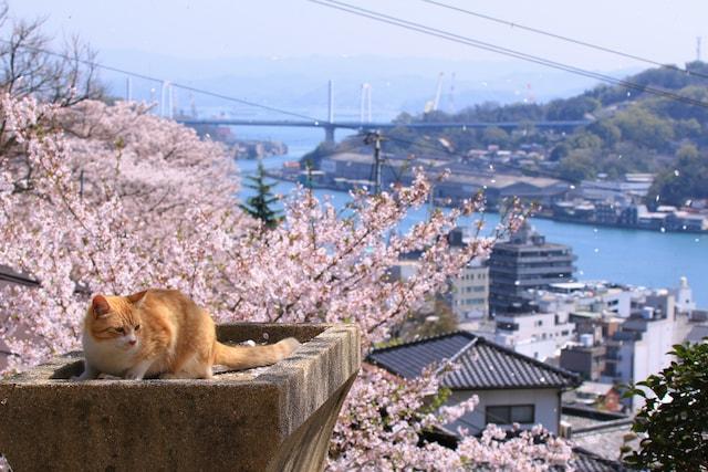 桜を背景にした猫の写真 by 池野武志