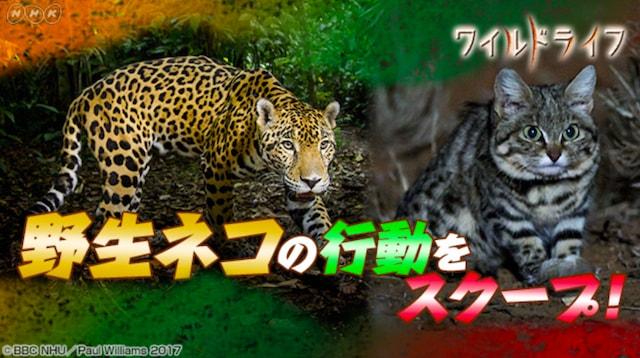 NHKのワイルドライフスペシャル「華麗なる野生ネコの世界 ビッグキャット&個性派ネコが跳ぶ 泳ぐ」