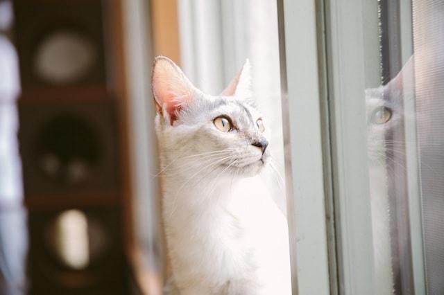 江戸ねこ茶屋の猫スタッフ、サバ白の「あさがお」