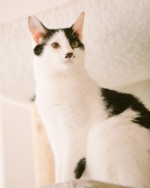 江戸ねこ茶屋の猫スタッフ、白黒ぶちの「月」