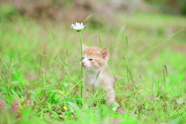 花の匂いを嗅ぐ子猫 by ねこ写真家・関由香