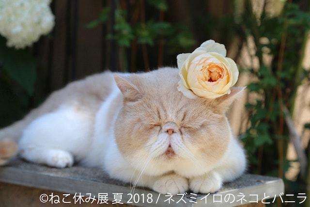 面白寝顔の猫 by ネズミイロのネコとバニラ