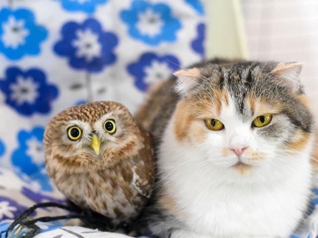フクロウの「フク」とスコティッシュフォールド「マリモ」仲良しコンビの2ショット