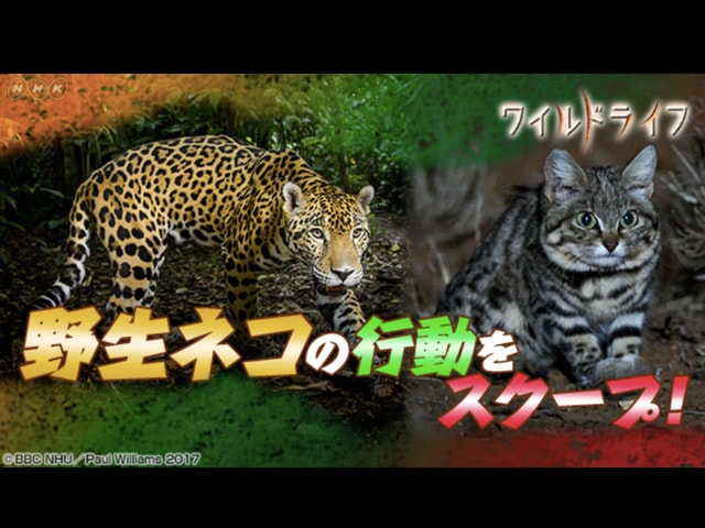 NHKのワイルドライフスペシャル、2週連続で野生ネコを大特集ニャ!