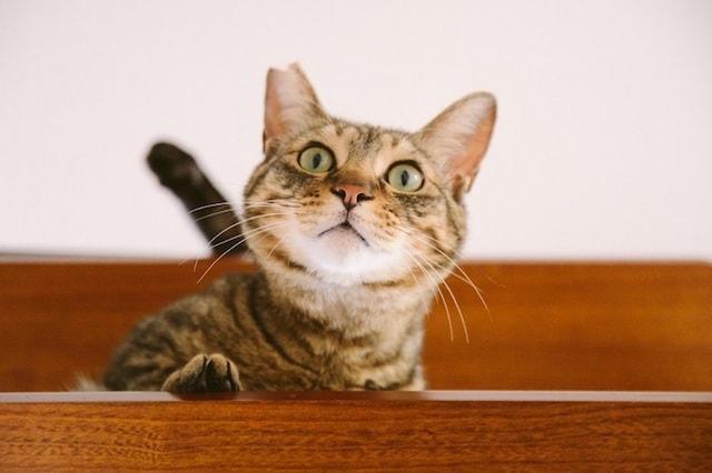 江戸ねこ茶屋の猫スタッフ、キジトラの「ホームズ」