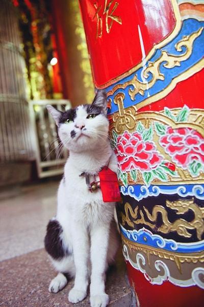 台湾のキジ白猫 by ねこ写真家・関由香
