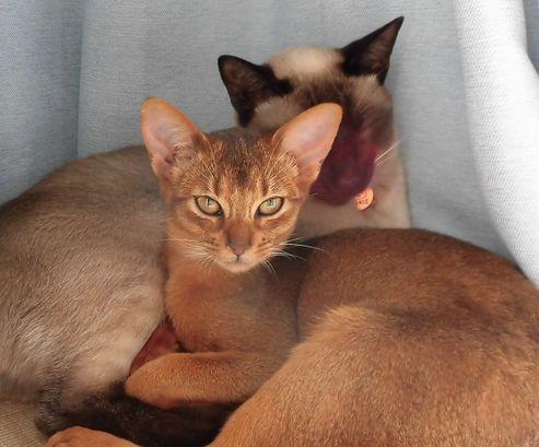 シャム猫とアビシニアン