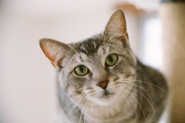 江戸ねこ茶屋の猫スタッフ、サバトラの「まなぶ」