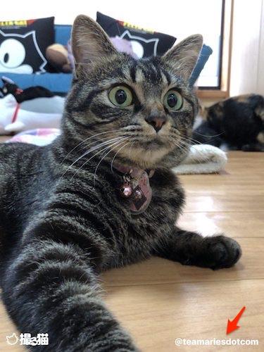写真にコピーライトを入れられる猫専用カメラアプリ「撮る猫」