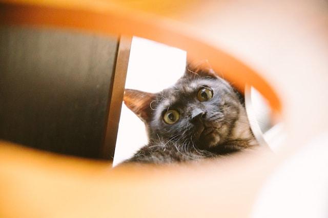 江戸ねこ茶屋の猫スタッフ、サビ猫の「あぶ」