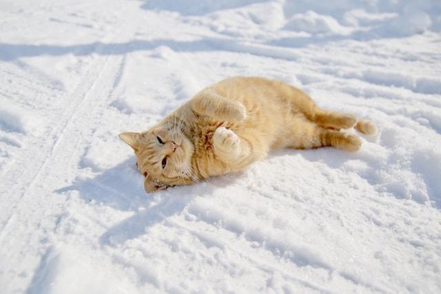 アザラシのように雪に寝転がる茶トラ猫 by MANABU