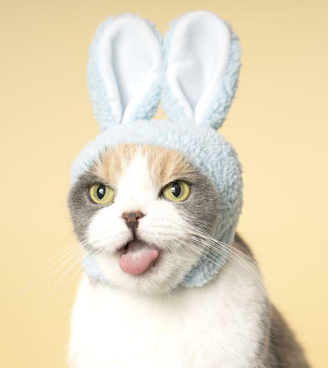 ねこのかぶりもの(うさぎ)を被って口を開く猫 by 石原さくら
