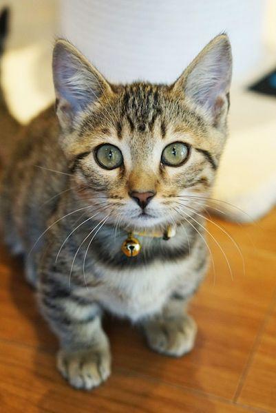 珍しい猫種「ジェネッタ」の琥鉄(こてつ)くん
