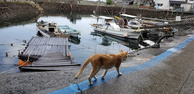 愛媛県の猫島「青島(あおしま)」の漁港を歩く一匹の猫