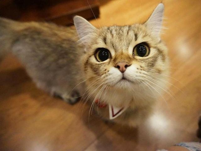 ミヌエットのふうたくん by 猫カフェもふにゃん