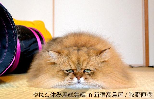 体全体を床につけてリラックスする人気猫のふーちゃん