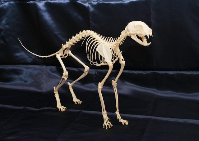 猫の全身骨格標本 by Think Squareの身近な生き物展