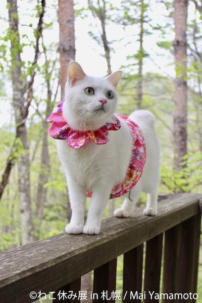 ピンクの小物を身に着ける白猫 by Mai Yamamoto