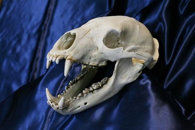 ツキノワグマ頭骨 by Think Squareの身近な生き物展