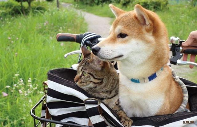 自転車のカゴに乗って仲良く散歩する「柴犬ゆうと猫のとろ」の写真