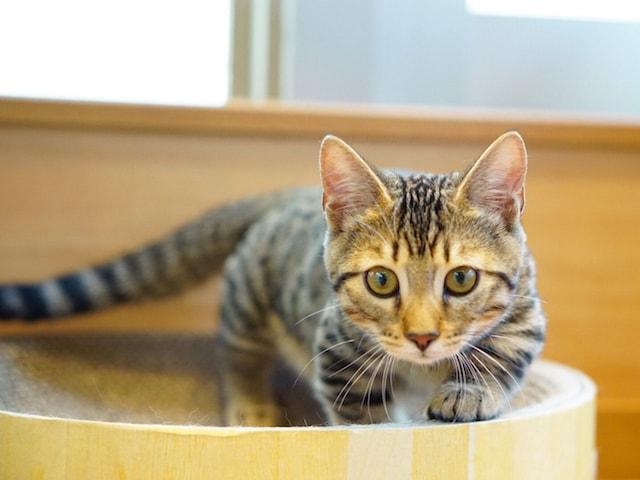 珍しい猫種「ジェネッタ」の正面イメージ by 猫カフェもふにゃん