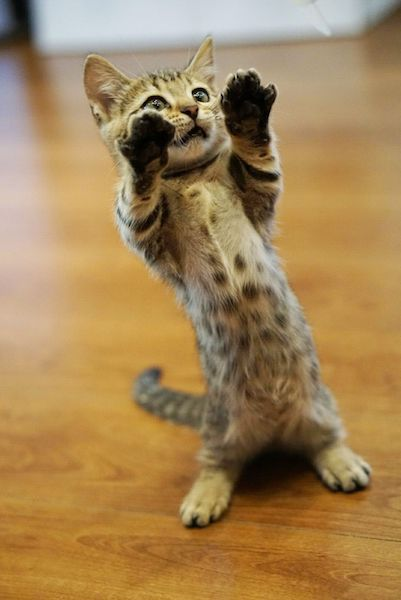 珍しい猫種「ジェネッタ」が立ってお腹を見せるイメージ by 猫カフェもふにゃん