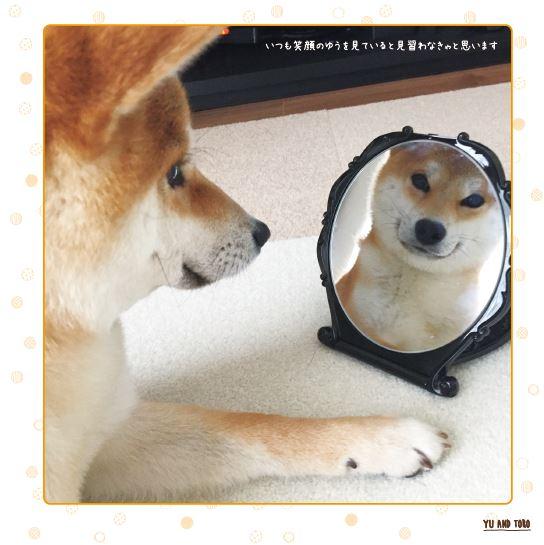 鏡に写る自分を見つめる「柴犬ゆう」の写真
