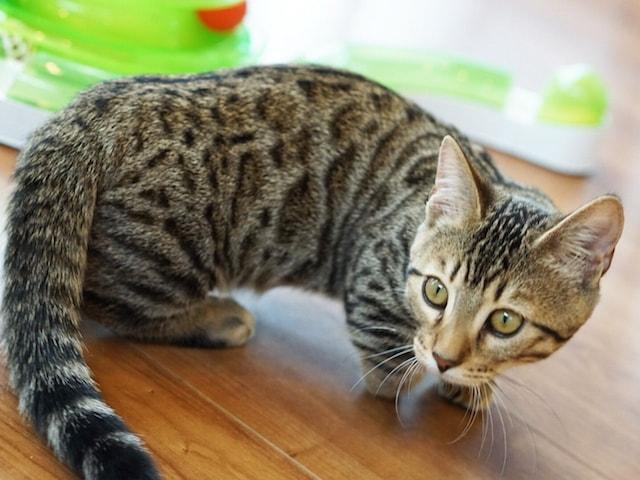 猫カフェもふにゃん在籍している珍しい猫種「ジェネッタ」