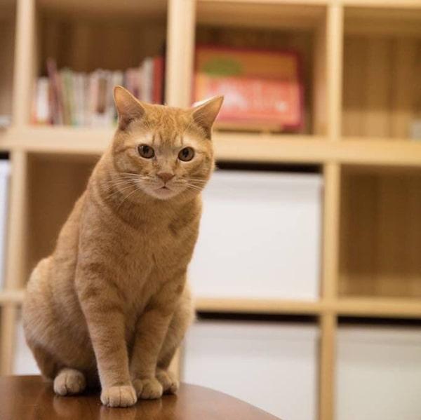 ネコリパブリック東京お茶の水店(保護猫カフェ)の茶トラ猫