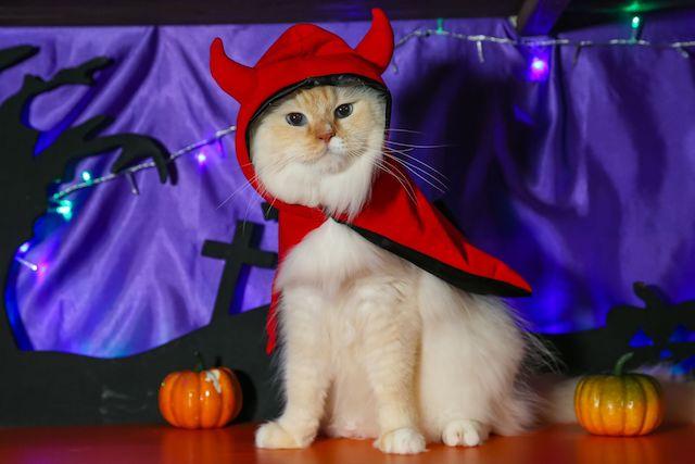 ハロウィンコスプレをするもふもふな猫
