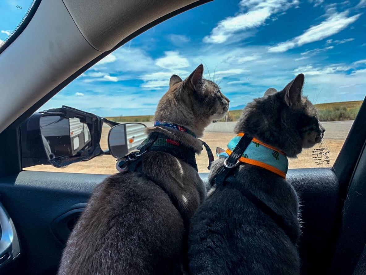 車に乗ってドライブする2匹の猫