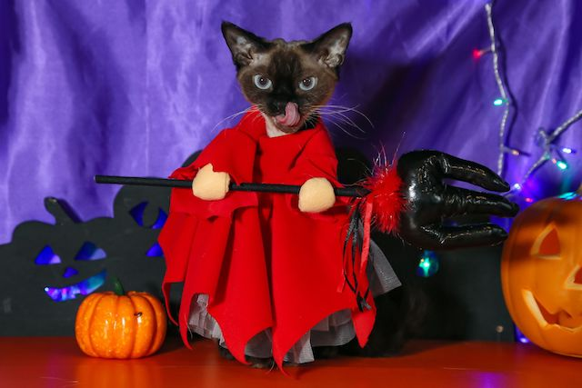 ハロウィンの悪魔をイメージした仮装をする猫スタッフ by 猫家 大宮店