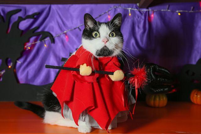 びっくり顔のハロウィン仮装した猫スタッフ by 猫家 大宮店