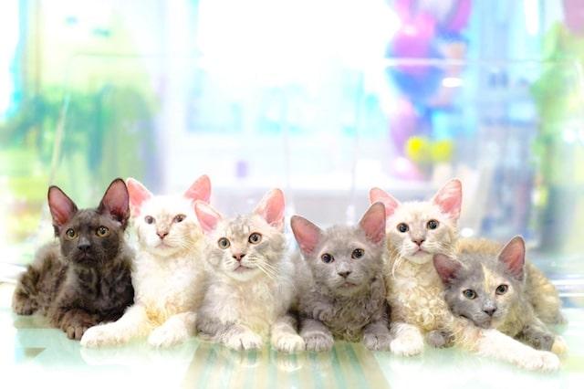 キャットショーで活躍する猫たち by カールアップカフェ(curl up cafe)