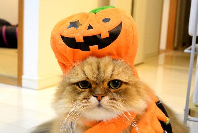 ジャック・オー・ランタンをかぶった猫のふーちゃん