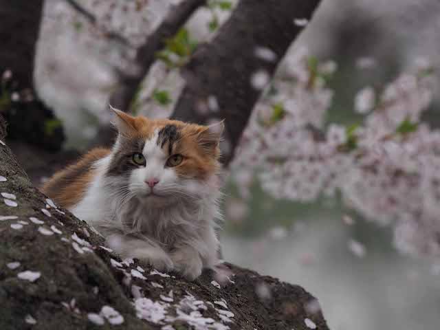 桜の木でくつろぐ猫 by 岩合光昭